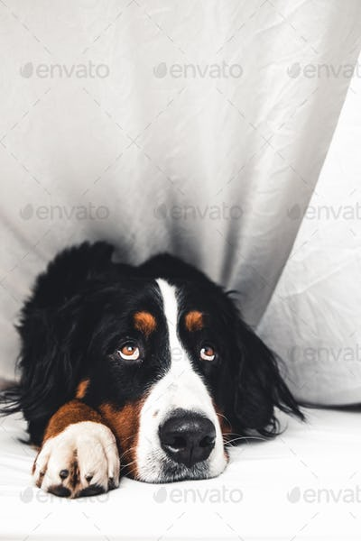 Bernese Mountain Dog in white bed. Lying on a clean bed