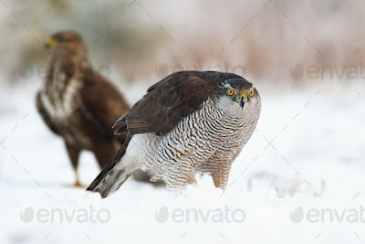 Northern goshawk with common buzzard on snow in wintertime