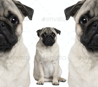 Portrait of three pug dogs sitting in front of white background