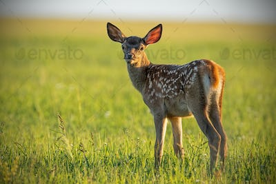 Young cute baby red deer, cervus elaphus, fawn in warm sunset light