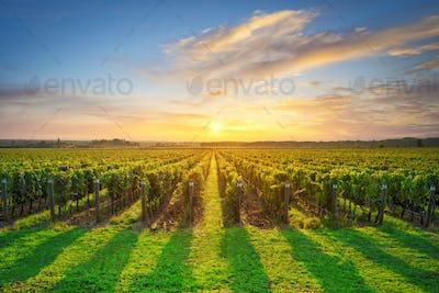Bolgheri and Castagneto vineyard on sunset in backlight. Maremma Tuscany, Italy