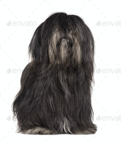 Lhasa Apso, 3 years old, sitting in front of white background
