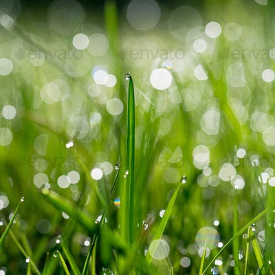 Fresh green grass with water drops on background of sunlight.