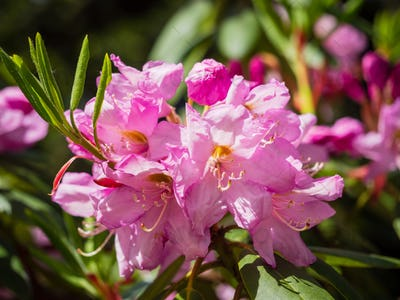 Purple flowers of rhododendron outdoors in the Park on a Sunny day on dark toning background