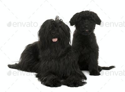 Two Briard dogs, 2 years old and 13 weeks old, sitting in front of white background