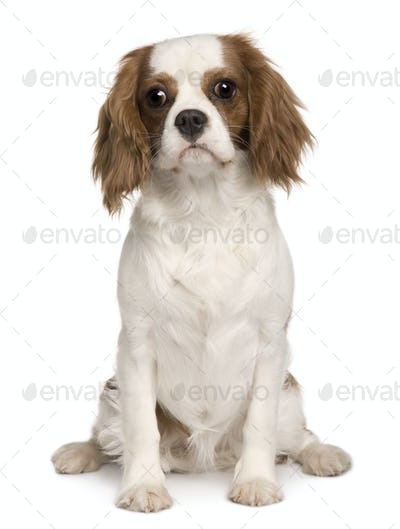 Cavalier King Charles dog, 6 months old, sitting in front of white background