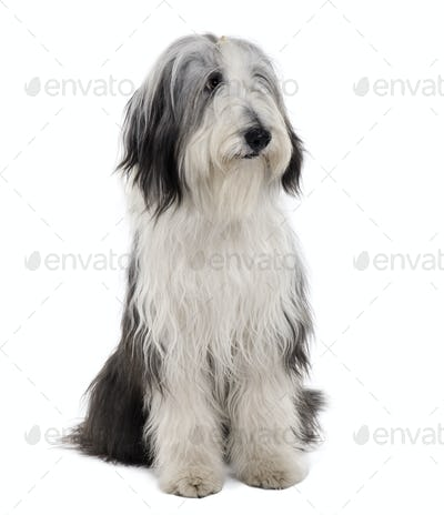 Bearded Collie, 11 months old, sitting in front of white background