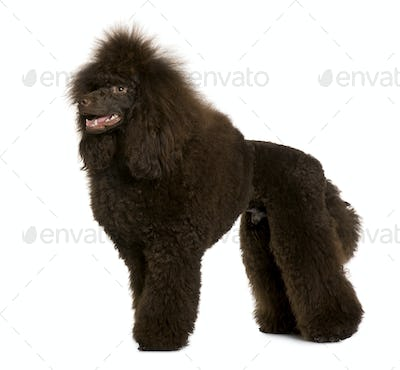 Royal Poodle, 11 months old, standing in front of white background