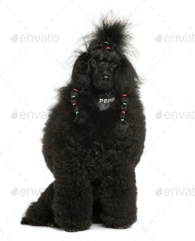 Royal Poodle, 11 months old, sitting in front of white background