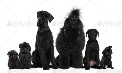 Group of dogs, Poodle, pug, griffon Bruxellois and a mixed breed in front of white background