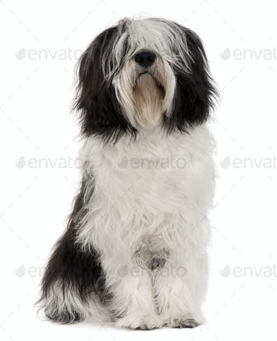 Polish Lowland Sheepdog, 10 months old, sitting in front of white background