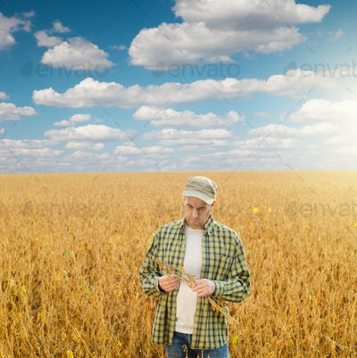 Caucasian middle age farmer inspecting ripe soy at field