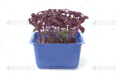 Fresh purple perilla