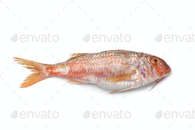 Whole single fresh Red mullet