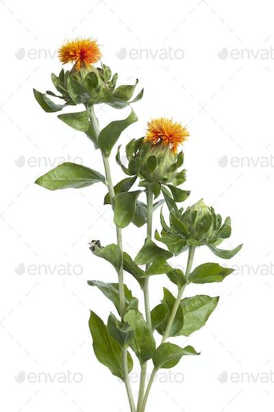 Orange Safflower