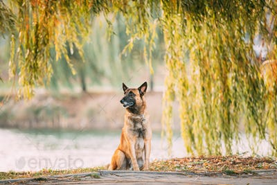 Malinois Dog Sitting Near Lake Under Tree Branches
