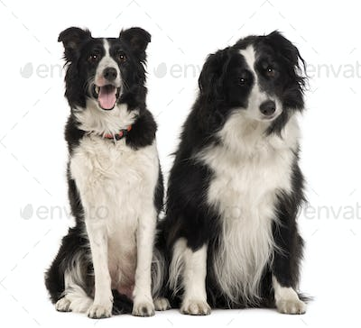 Two Border Collie, 9 years old, sitting in front of white background