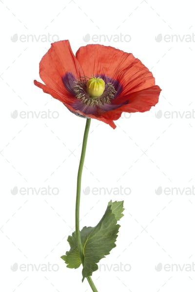 Red flowering Opium poppy