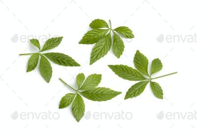 Fresh Jiaogulan leaves