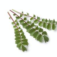 Fresh small burnet leaves