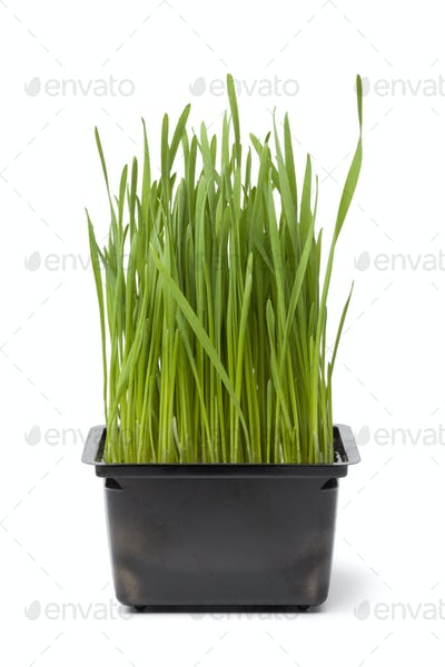 Organic wheat grass in plastic container