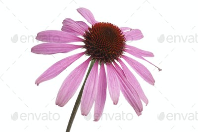 Single Echinacea purpurea flower
