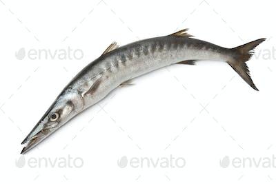 Whole single fresh Barracuda fish
