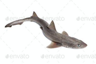 Whole  fresh small-spotted catshark