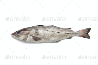 Fresh raw haddock