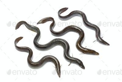 Fresh  European eel