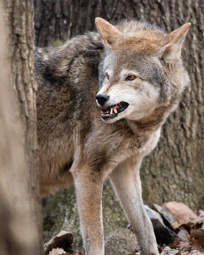 Red Wolf Snarling