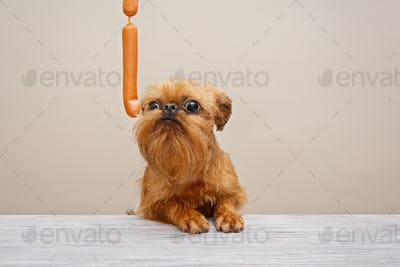 Brussels Griffon puppy and sausages