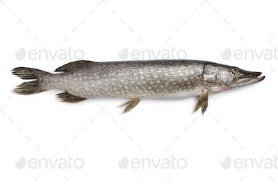Fresh Northern pike fish