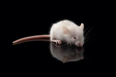 White rat isolated on black background. Symbol of new year 2020