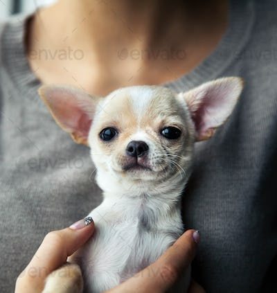 chihuahua puppy in the hands of a girl with a nice manicure