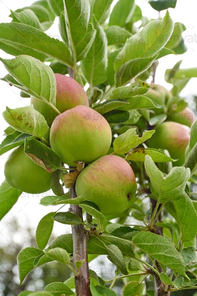 Ripe apples on a branch. Close-up view