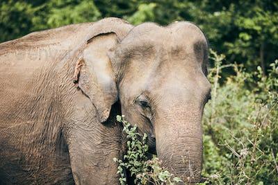 Wildlife elephant in Sri Lanka
