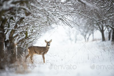 Solitary roe deer doe standing on snow in forest with copy space
