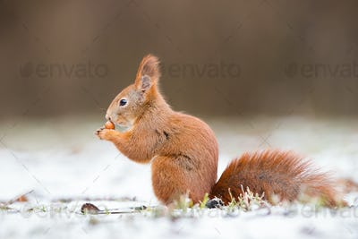 Red squirrel, sciurus vulgaris, on gripping a nut on snow