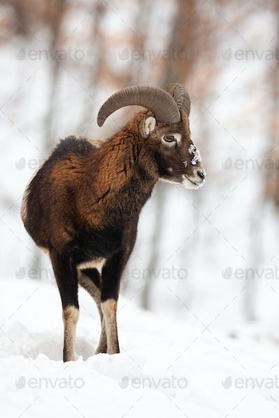 Mouflon ram with horns watching around in snowy forest