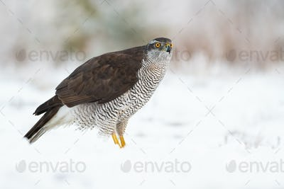 Adult northern goshawk, accipiter gentilis, on snow in winter