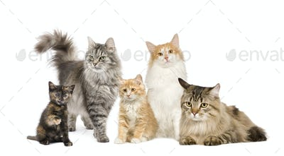 Group of 5 cats in a row : Norwegian, Siberian and persian cat