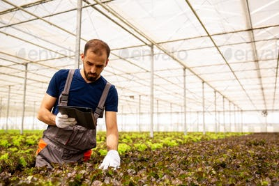 Young farmer who controls the state of salad plants