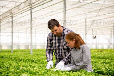Two agronomist engineers analyze the salad plantation