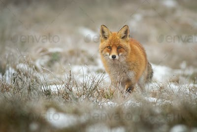 Red fox facing camera in wintertime on a meadow with dry grass