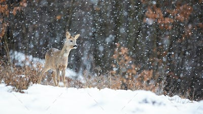 Roe deer standing in blizzard with snowflakes falling in winter