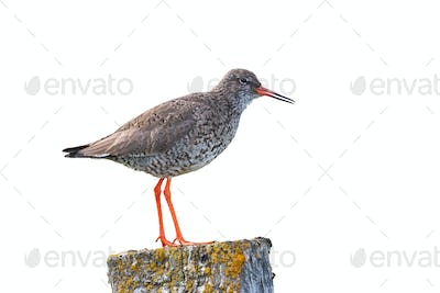 Common redshank, tringa totanus, standing on a pole isolated on white
