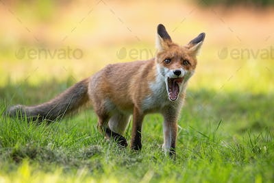 Red fox cub yawning with mouth open and licking with pink tongue