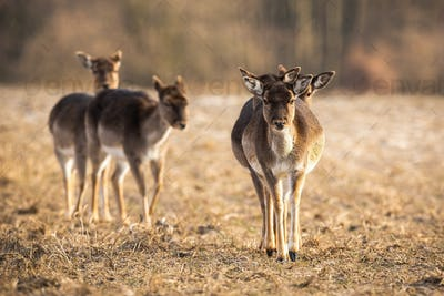 Front view of fallow deer herd approaching on a meadow in spring