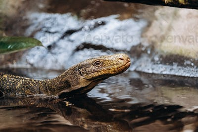 Papuan monitor Lizard climbs out of the water in the national reserve